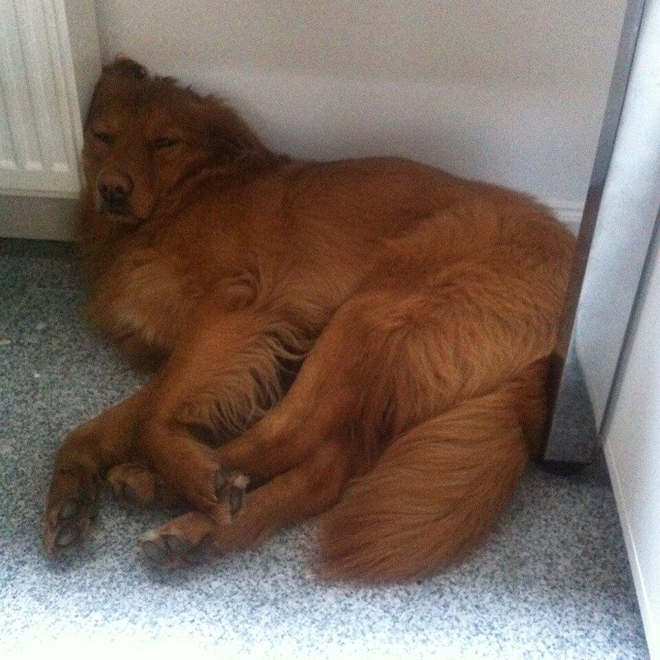 Hund schläft im Büro