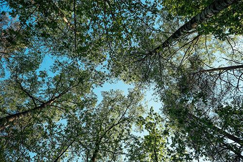 Baumkronen im Hintergrund blauer Himmel