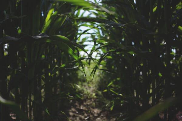 Weg in einem Maisfeld