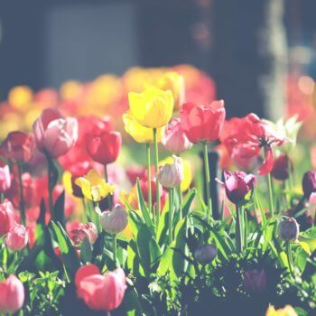 Frische Tulpen im Mai. Inspiration für den Redaktionsplan.